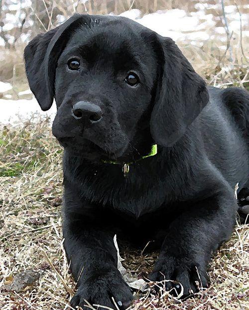 Labrador Hitam Lucu