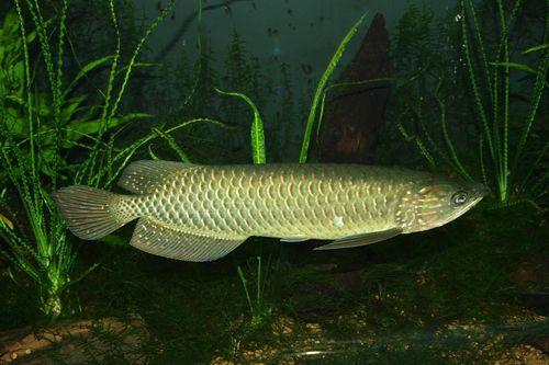 Foto Ikan Arwana Irian