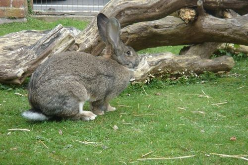 Gambar British Giant Rabbit