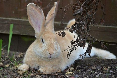 Gambar Continental Giant Rabbit