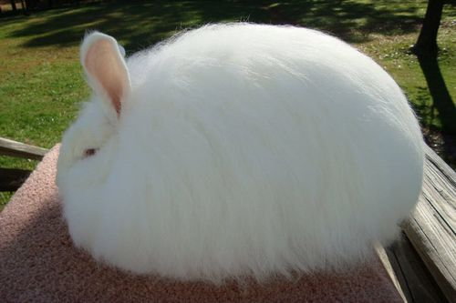 Giant Angora Rabbit Breed