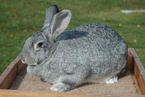 Giant Chinchilla Rabbit Breed
