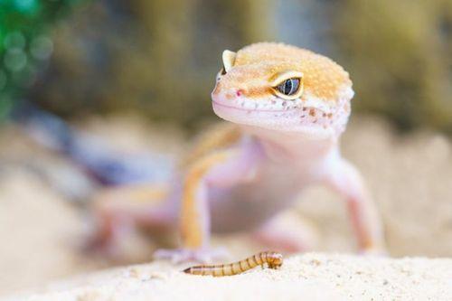 Gambar Hewan Peliharaan Gecko