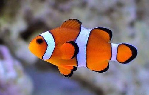 Gambar Hewan Peliharaan Ikan Badut