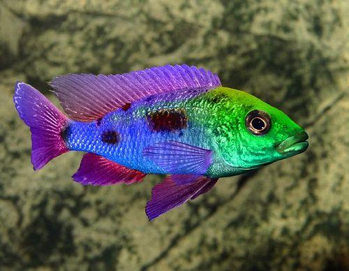 Gambar Hewan Peliharaan Ikan Cichlid