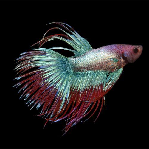 Gambar Hewan Peliharaan Ikan Cupang