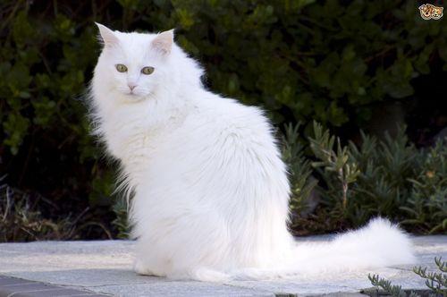 Gambar Hewan Peliharaan Kucing Angora