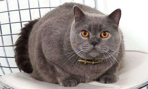 Gambar Hewan Peliharaan Kucing BSH