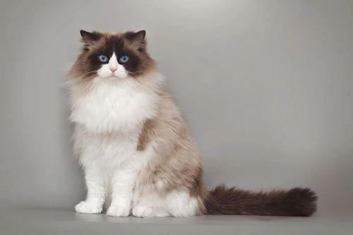 Gambar Hewan Peliharaan Kucing Ragdoll