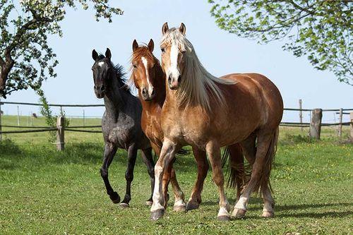 Gambar Hewan Peliharaan Kuda