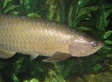 Gambar Ikan Arwana Irian 2