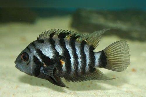 Gambar Ikan Black Convict Cichlid