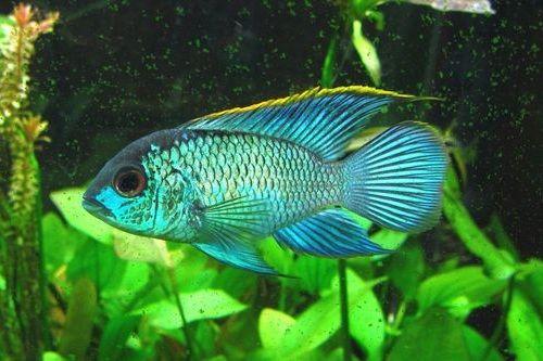 Gambar Ikan Blue Acara