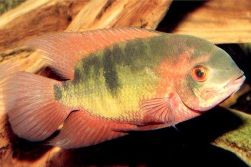 Gambar Ikan Chocolate Cichlid