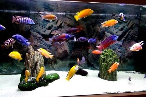 Gambar Ikan Cichlid Danau Malawi