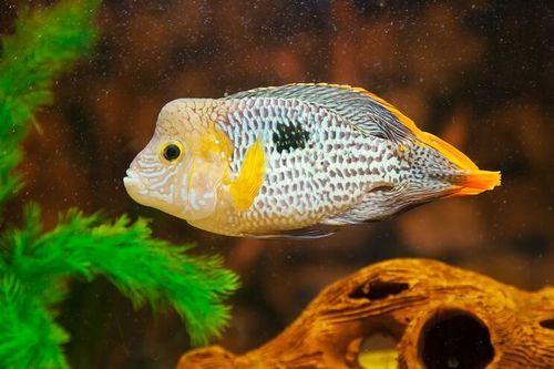 Gambar Ikan Green Terror