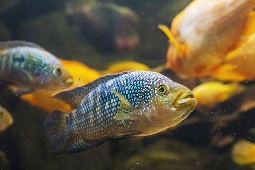 Gambar Ikan Jack Dempsey