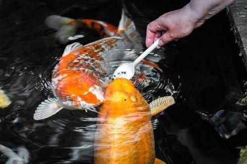 Gambar Ikan Koi Sedang Makan