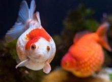 Gambar Ikan Mas Koki Tikus