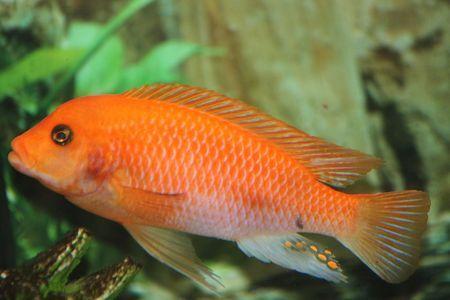 Gambar Ikan Red Zebra