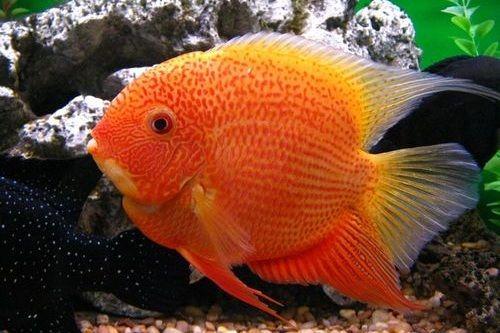 Gambar Ikan Severum Cichlid