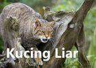 Gambar Kucing Liar