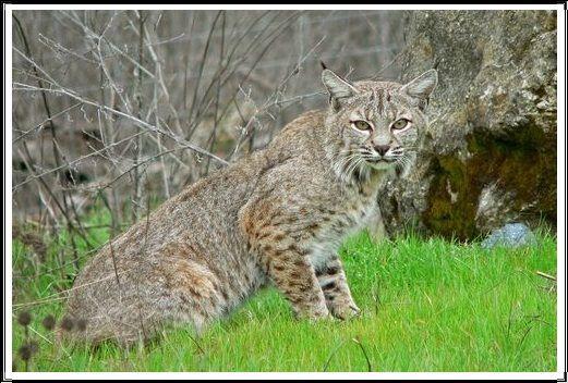 Gambar Kucing Liar Bobcat