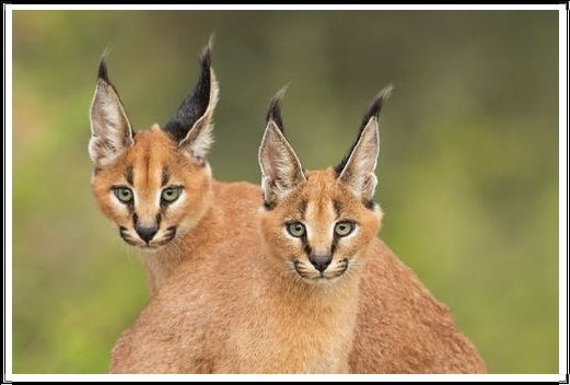 Gambar Kucing Liar Caracal