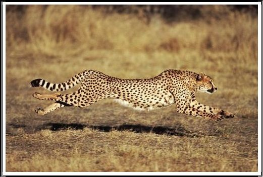 Gambar Kucing Liar Cheetah