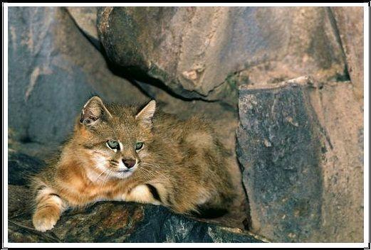 Gambar Kucing Liar Colocolo