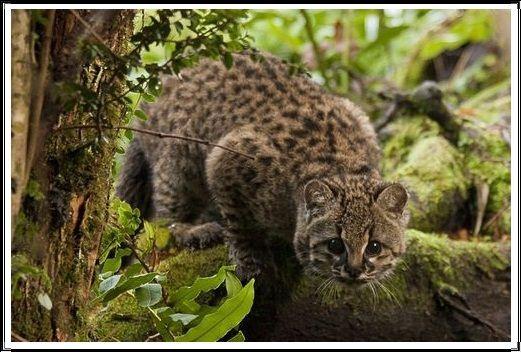 Gambar Kucing Liar Guina