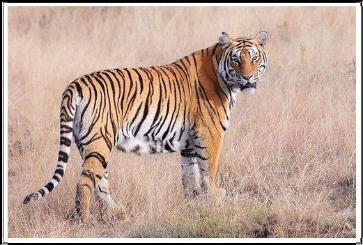 Gambar Kucing Liar Harimau