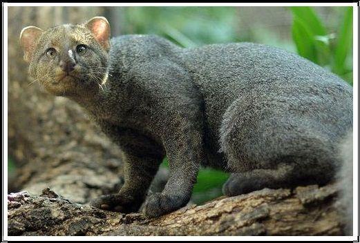 Gambar Kucing Liar Jaguarundi