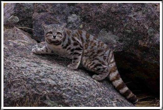 Gambar Kucing Liar Kucing Andes