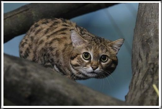 Gambar Kucing Liar Kucing Berkaki Hitam