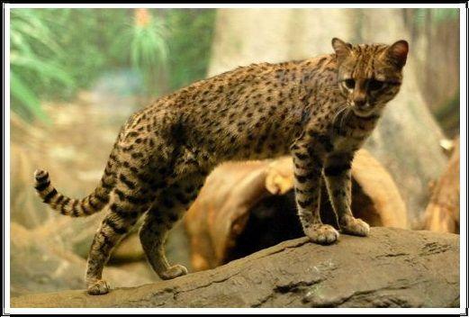 Gambar Kucing Liar Kucing Geoffroy