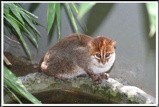 Gambar Kucing Liar Kucing Kepala Datar