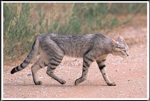 Gambar Kucing Liar Kucing Liar Afrika dan Asia
