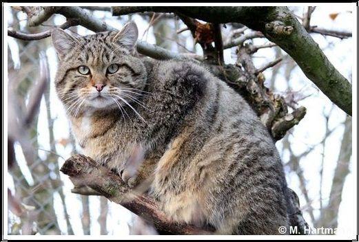 Gambar Kucing Liar Kucing Liar Eropa
