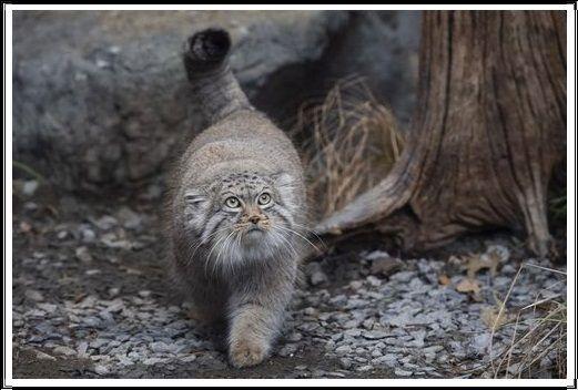 Gambar Kucing Liar Kucing Pallas