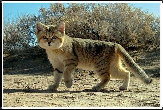 Gambar Kucing Liar Kucing Pasir