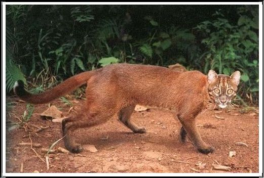 Gambar Kucing Liar Kucing Teluk Kalimantan