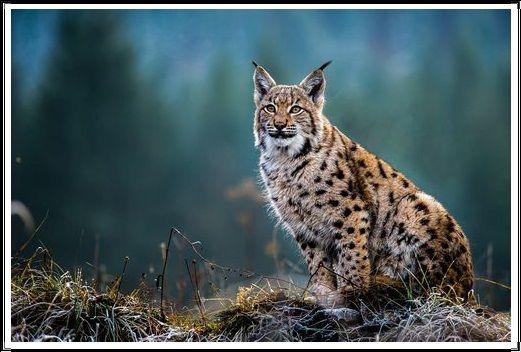 Gambar Kucing Liar Lynx Eurasia