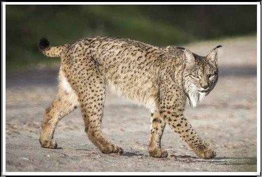 Gambar Kucing Liar Lynx Iberia