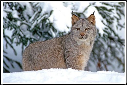 Gambar Kucing Liar Lynx Kanada