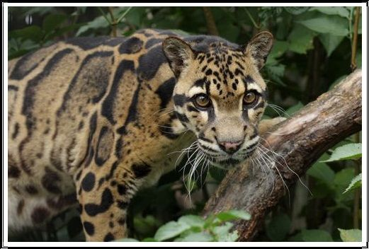 Gambar Kucing Liar Macan Dahan Sunda