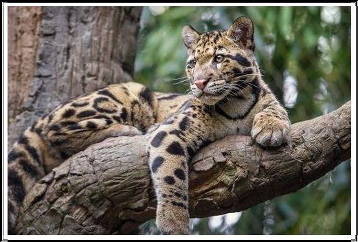 Gambar Kucing Liar Macan Dahan