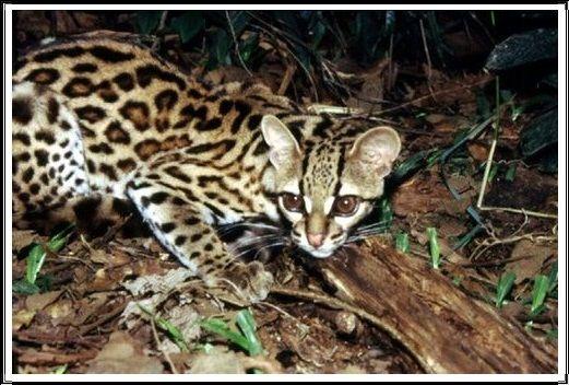 Gambar Kucing Liar Margay