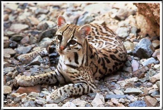Gambar Kucing Liar Ocelot