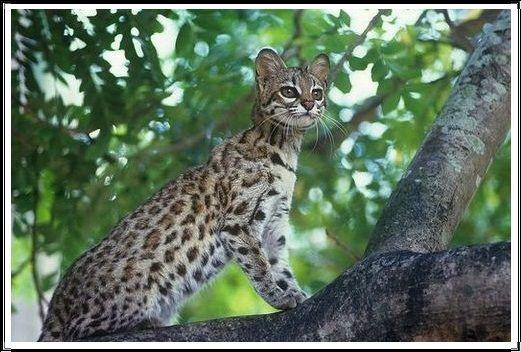 Gambar Kucing Liar Oncilla Selatan